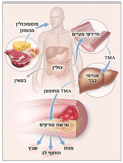 תרשים פיזיולוגי